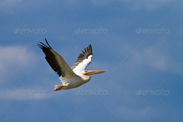 white pelican in flight - Stock Photo - Images
