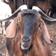 Goats (5-Pack) - VideoHive Item for Sale