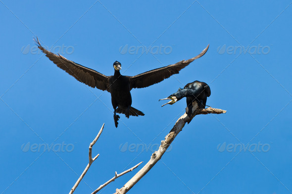 cormorant (phalacrocorax carbo) - Stock Photo - Images