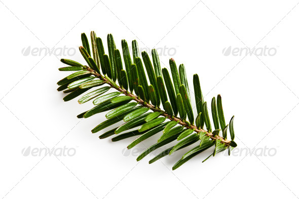 fir branch on white backgound - Stock Photo - Images