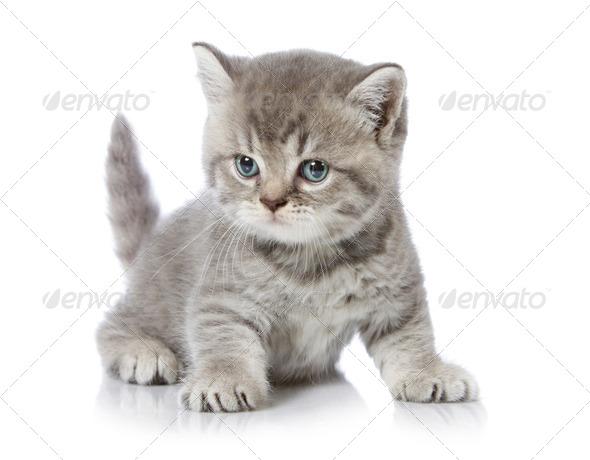five weeks old british short hair kitten - Stock Photo - Images
