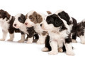 Bearded Collie puppies, 6 weeks old, sitting, standing and looking away. Focus on foreground