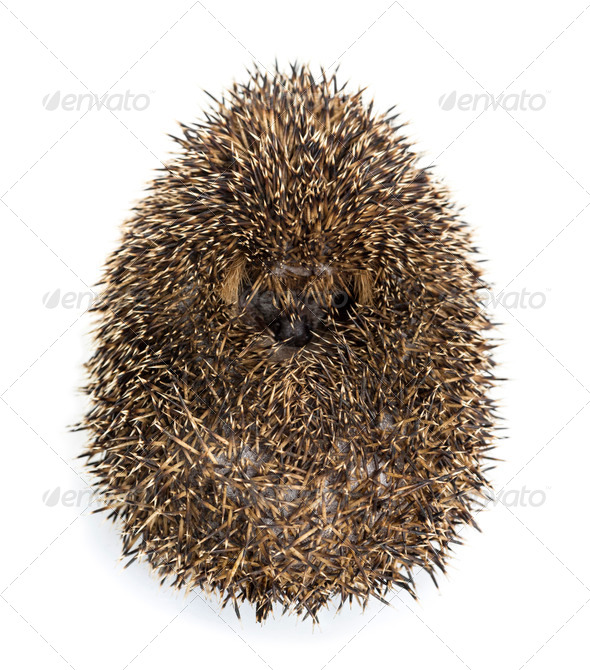 Hedgehog curled up against white background - Stock Photo - Images