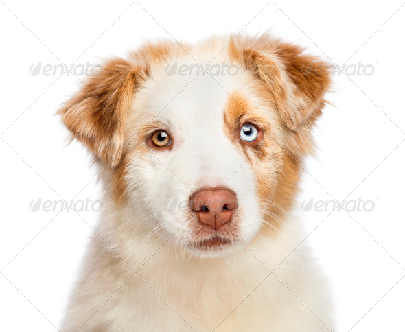 Close up of an Australian Shepherd puppy, 3.5 months old, looking at camera against white background - Stock Photo - Images