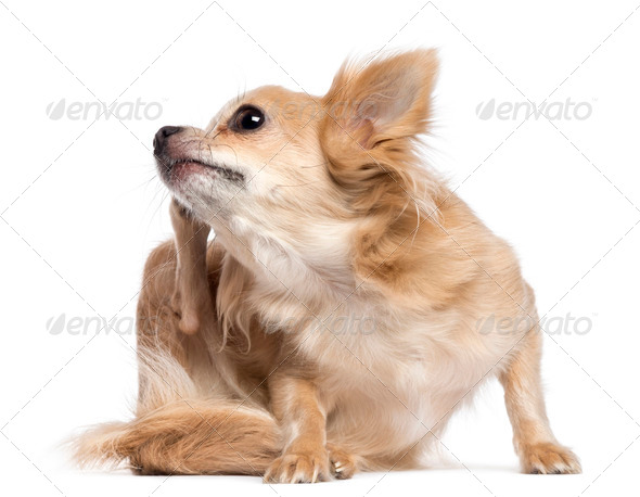 Chihuahua scratching against white background - Stock Photo - Images