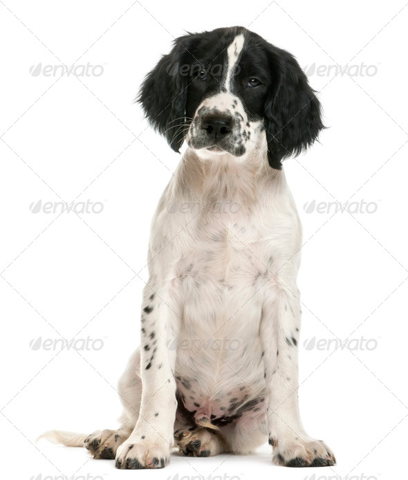 English Springer Spaniel sitting and looking at camera against white background - Stock Photo - Images