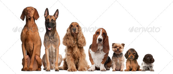 Group of brown dogs sitting, from taller to smaller against white background - Stock Photo - Images