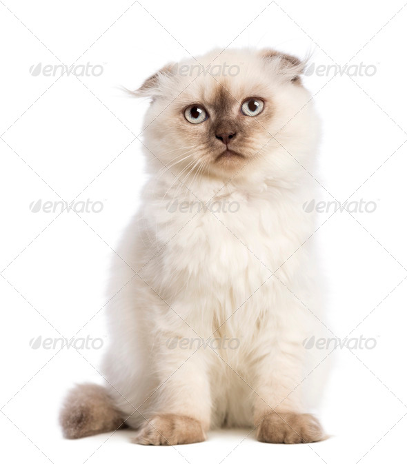Highland fold kitten sitting against white background - Stock Photo - Images