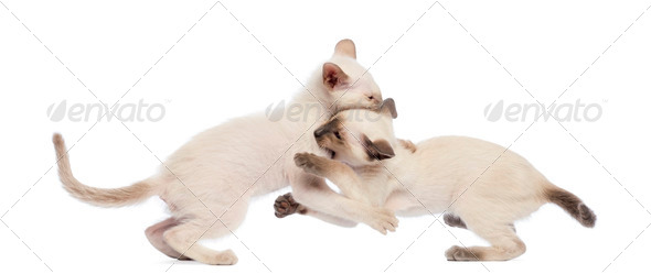 Two Oriental Shorthair kitten play fighting against white background - Stock Photo - Images