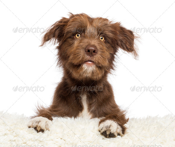 Crossbreed dog lying on white fur and looking away against white background - Stock Photo - Images