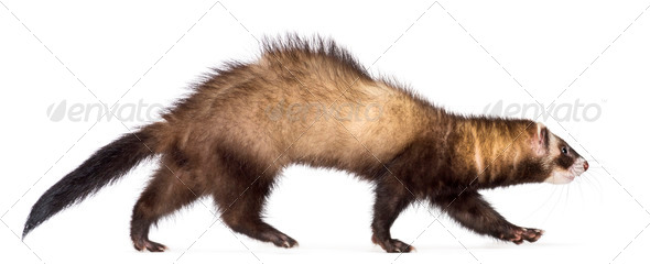 Side view of Ferret, 7 months old, walking against white background - Stock Photo - Images