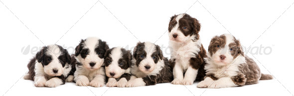 Group of Bearded Collie puppies, 6 weeks old, sitting and lying in a row against white background - Stock Photo - Images