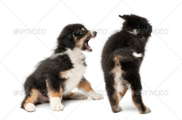 Two Australian Shepherd puppies, 2 months old, play fighting against white background - Stock Photo - Images