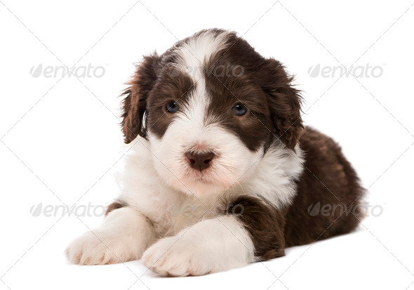 Bearded Collie puppy, 6 weeks old, lying against white background - Stock Photo - Images