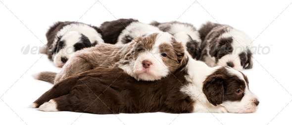 Bearded Collie puppies, 6 weeks old, lying against white background - Stock Photo - Images