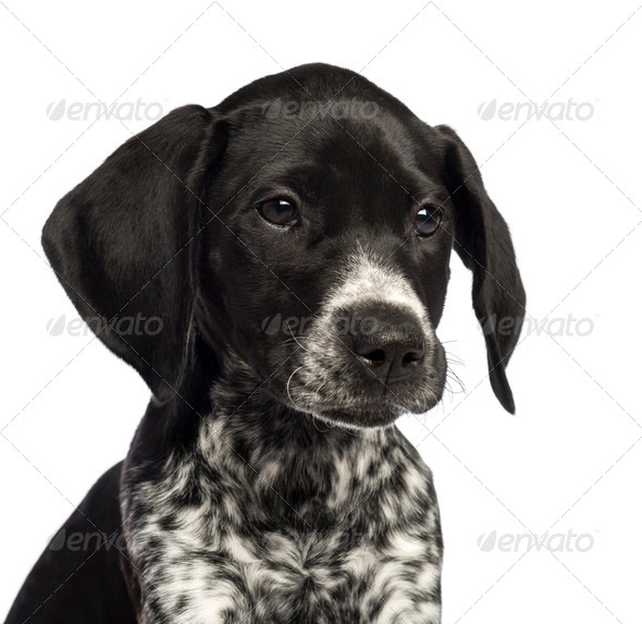 German Shorthaired Pointer, 10 weeks old, close up against white background - Stock Photo - Images