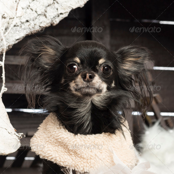 Close up of a Chihuahua in front of Christmas nativity scene with Christmas tree and snow - Stock Photo - Images