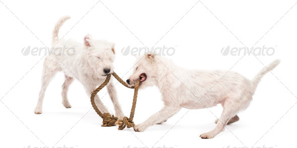 Parson Russell terriers playing with a rope against white background - Stock Photo - Images