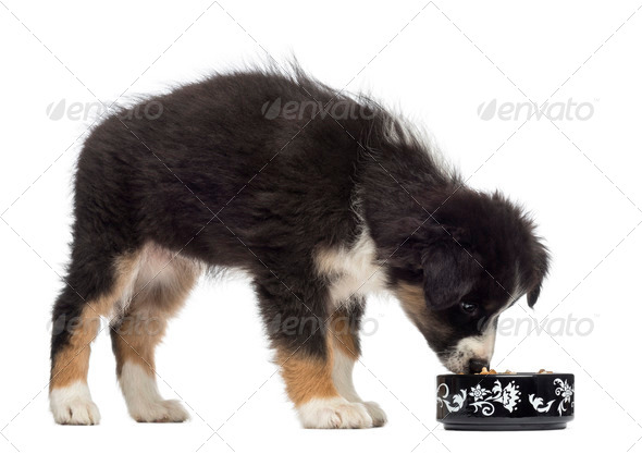 Australian Shepherd puppy, 2 months old, standing and eating from bowl against white background - Stock Photo - Images