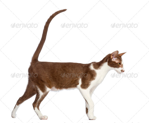 Side view of an Oriental Shorthair walking against white background - Stock Photo - Images
