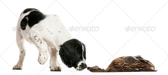 English Springer Spaniel sniffing dead duck against white background - Stock Photo - Images