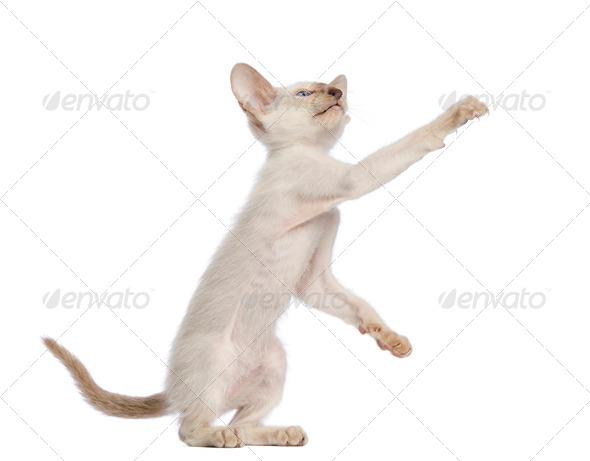 Oriental Shorthair kitten, 9 weeks old, standing on hind legs and reaching against white background - Stock Photo - Images