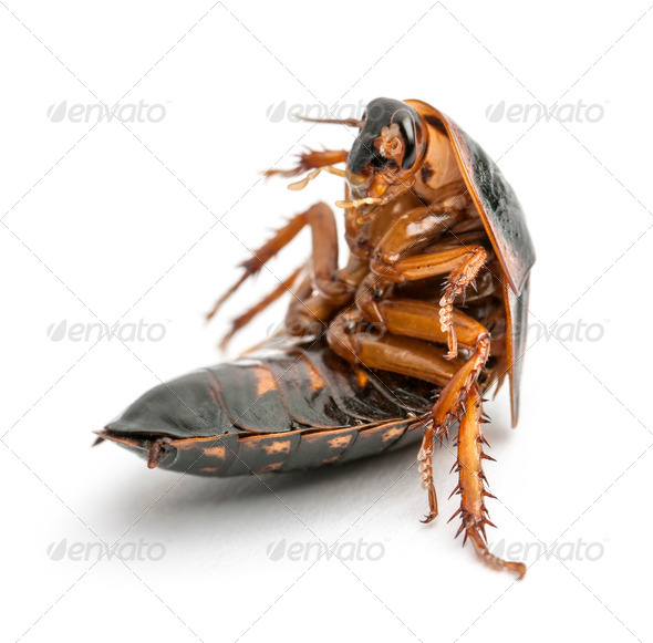 Cockroach sitting against white background - Stock Photo - Images