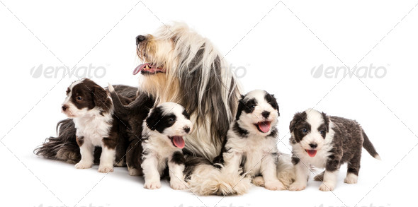 Bearded Collie puppies, 6 weeks old, around their mother sitting against white background - Stock Photo - Images