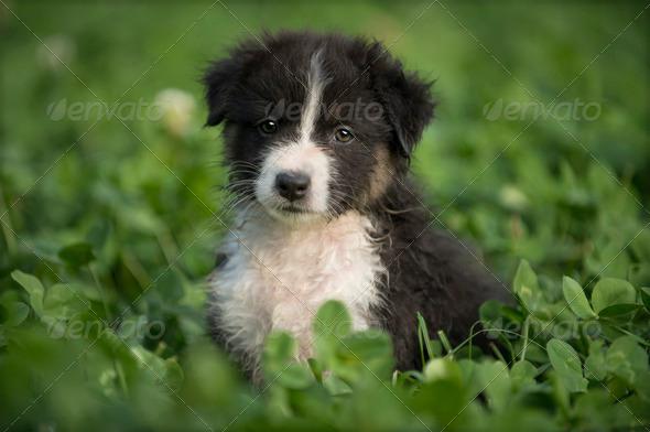 Australian Shepherd puppy outdoors - Stock Photo - Images