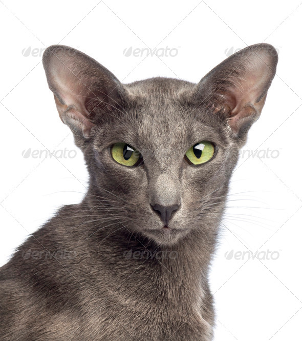 Close-up of an Oriental Shorthair looking at camera against white background - Stock Photo - Images