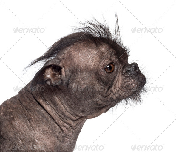 Hairless dog, mix between French bulldog and Chinese Crested Dog, against white background - Stock Photo - Images