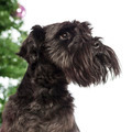 Close up of a Miniature Schnauzer in front of Christmas decorations against white background