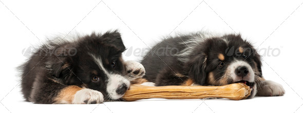 Two Australian Shepherd puppies, 2 months old, lying and - Stock Photo - Images