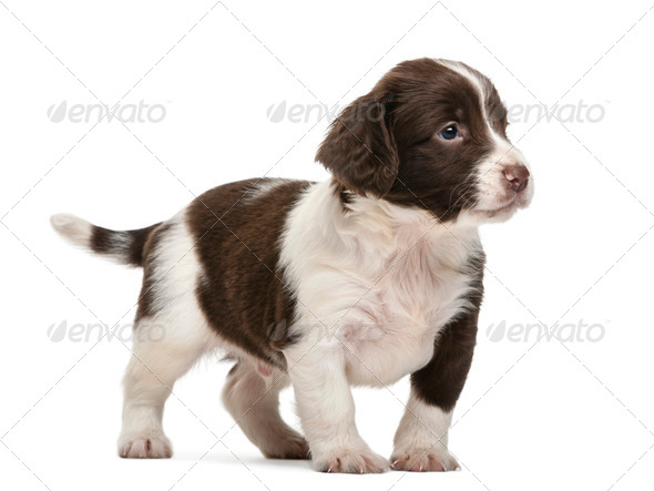 English Springer Spaniel, 5 weeks old, looking away against white background - Stock Photo - Images