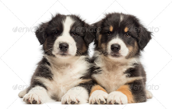 Two Australian Shepherd puppies, 2 months old, lying against white background - Stock Photo - Images