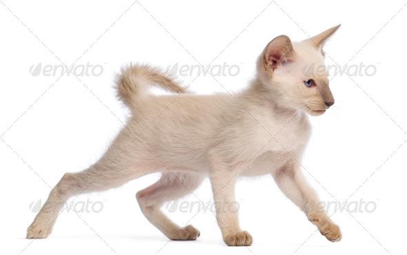 Oriental Shorthair kitten, 9 weeks old, walking against white background - Stock Photo - Images