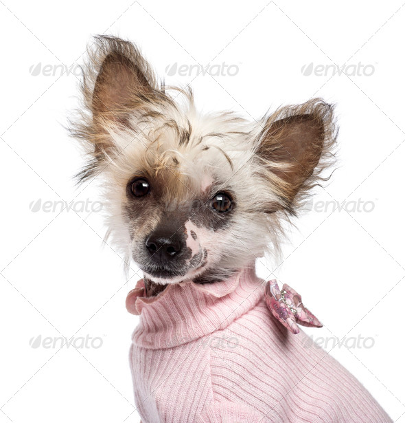Chinese Crested Dog puppy, 4 months old, looking at camera against white background - Stock Photo - Images