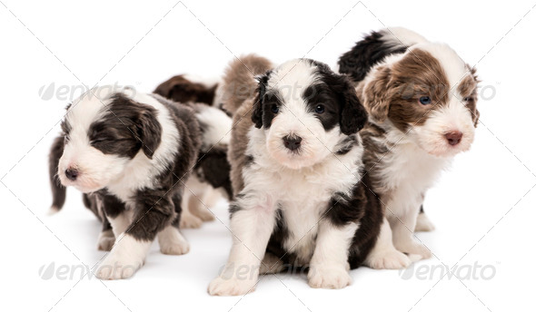 Bearded Collie puppies, 6 weeks old, sitting together against white background - Stock Photo - Images