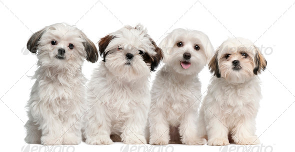 Group of Shih Tzu and Maltese puppy sitting and looking at camera against white background - Stock Photo - Images
