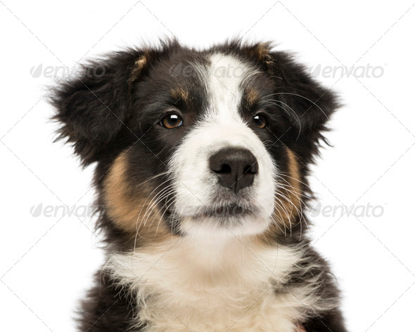 Close up of an Australian Shepherd puppy, 3 months old, looking away against white background - Stock Photo - Images
