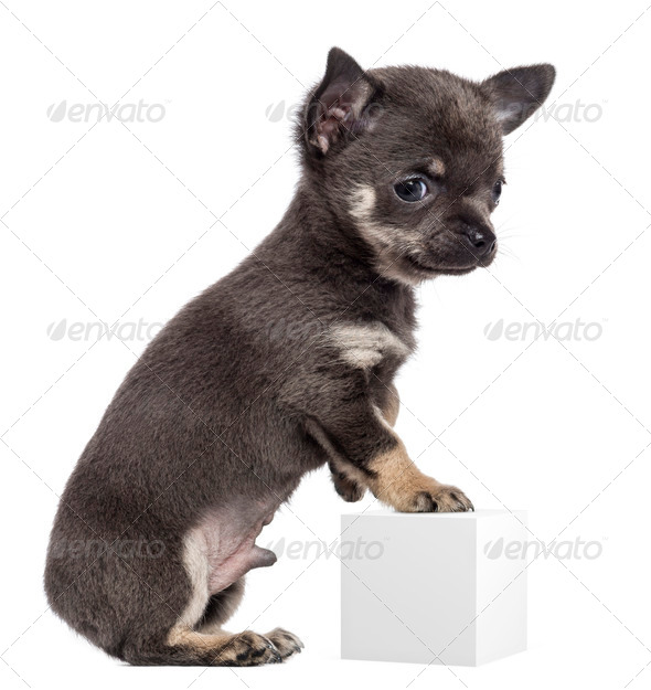 Chihuahua puppy, 7 weeks old, standing on hind legs and leaning on white cube  - Stock Photo - Images