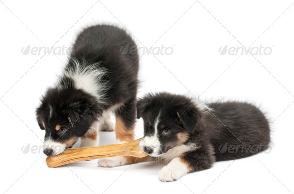 Two Australian Shepherd puppies, 2 months old, eating knuckle bone against white background - Stock Photo - Images