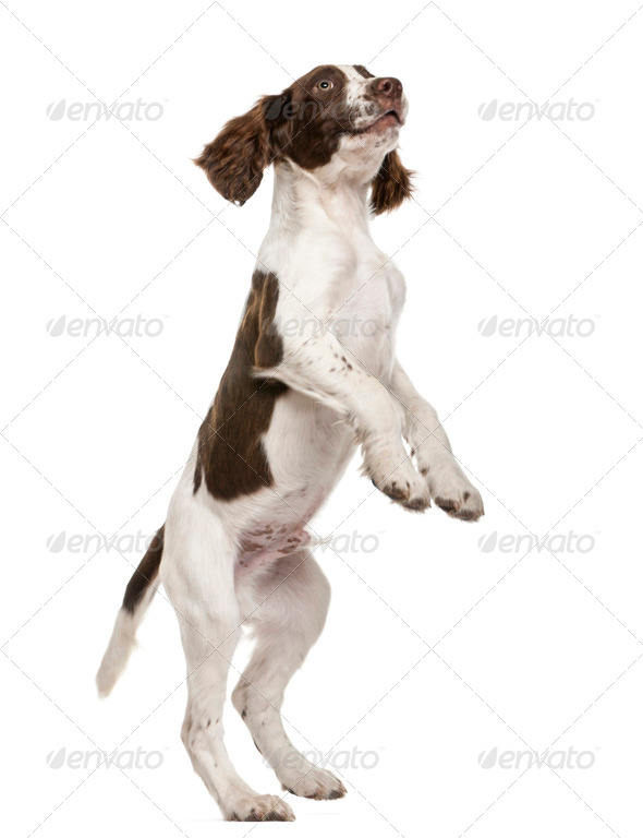 English Springer Spaniel standing on hind legs against white background - Stock Photo - Images