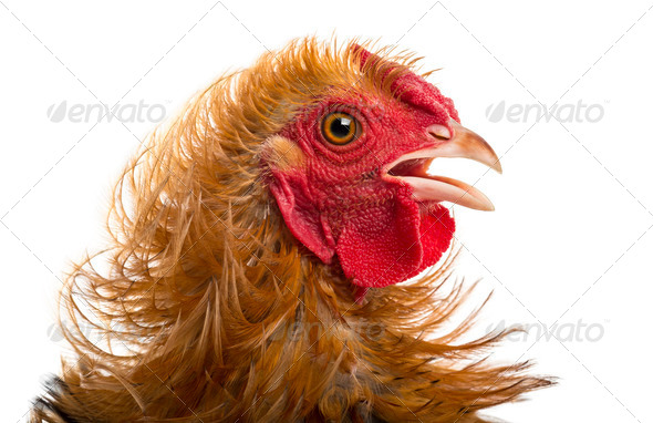 Close-up of Crossbreed rooster, Pekin and Wyandotte, against white background - Stock Photo - Images