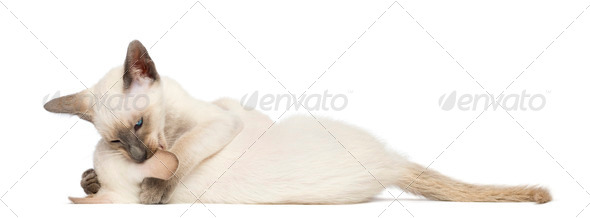 Two Oriental Shorthair kittens, 9 weeks old, play fighting against white background - Stock Photo - Images