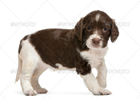 English Springer Spaniel, 5 weeks old, looking at camera against white background - Stock Photo - Images
