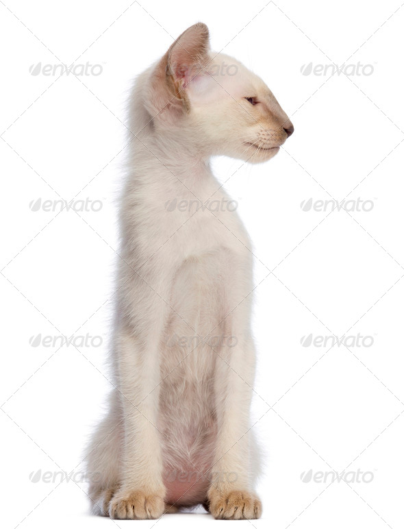 Oriental Shorthair kitten, 9 weeks old, sitting and looking away against white background - Stock Photo - Images