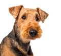 Close up of an Airedale Terriers looking at camera against white background