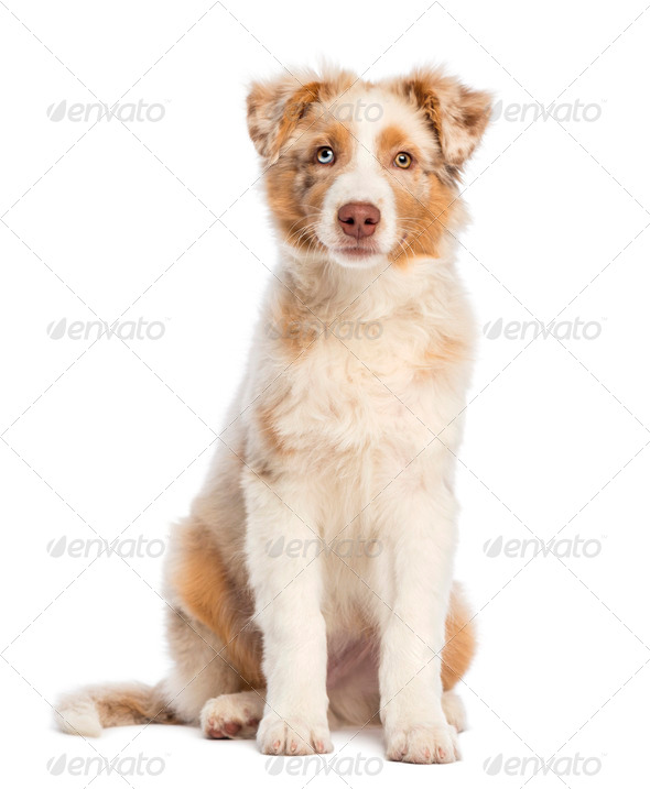 Australian Shepherd puppy, 3.5 months old, sitting and looking at camera against white background - Stock Photo - Images