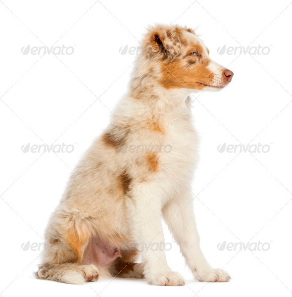 Australian Shepherd puppy, 3.5 months old, sitting and looking away against white background - Stock Photo - Images